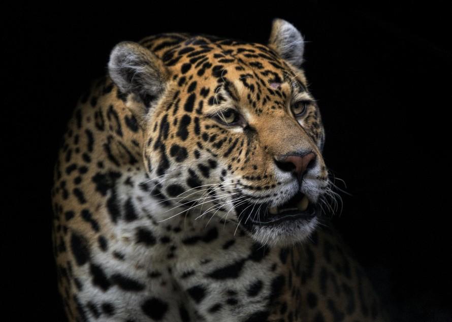 Nông dân Colombia 'đình chiến' với loài báo đốm
