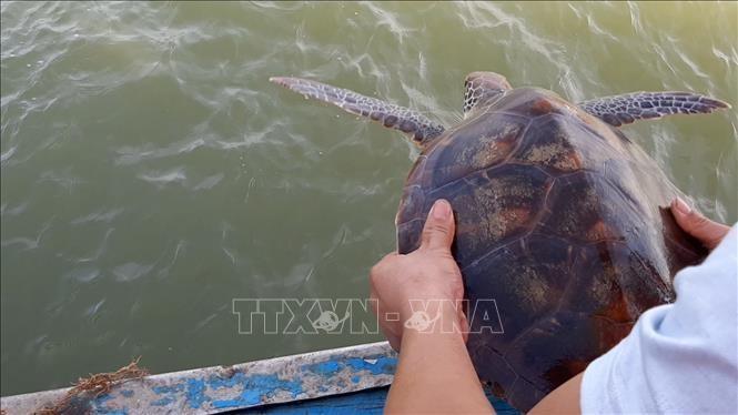 Cá thể rùa quý hiếm nặng hơn 80 kg được thả về biển