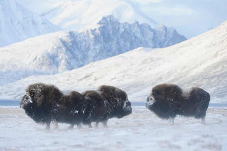 Loài bò xạ hương tại Greenland. Ảnh: Caff