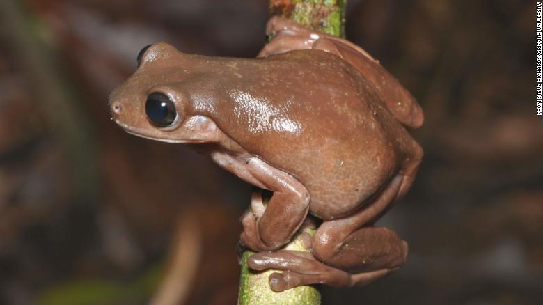 Phát hiện loài ếch socola mới