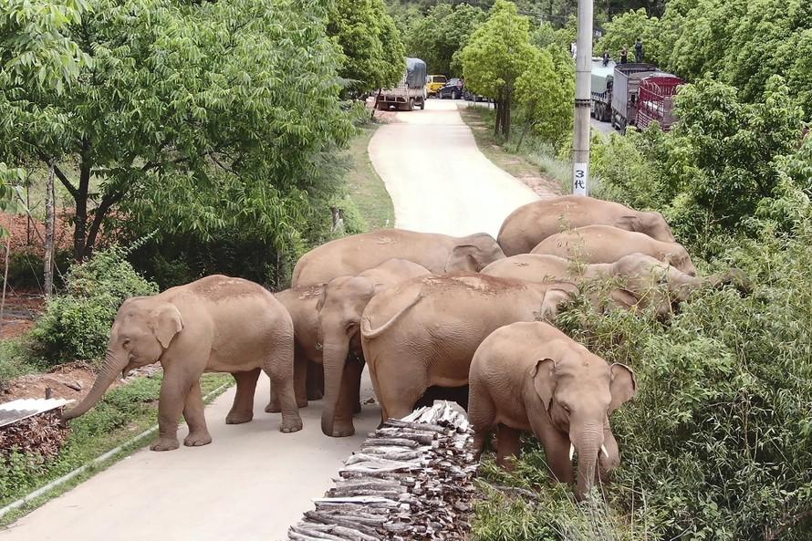 Đàn voi lạc khuấy đảo truyền thông Trung Quốc