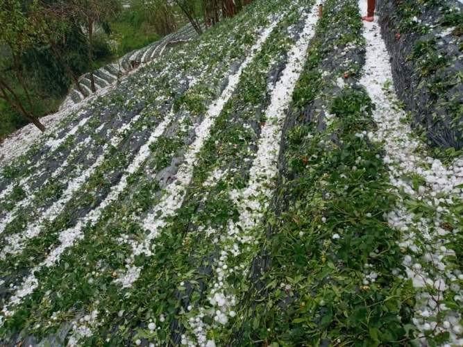 Tây Bắc: Mưa đá bất thường, hoa màu thiệt hại nặng