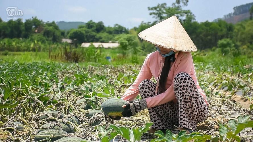 Người nông dân bất lực nhìn ruộng dưa hấu bị cắt gốc chết khô (Ảnh: Trọng Hiếu)