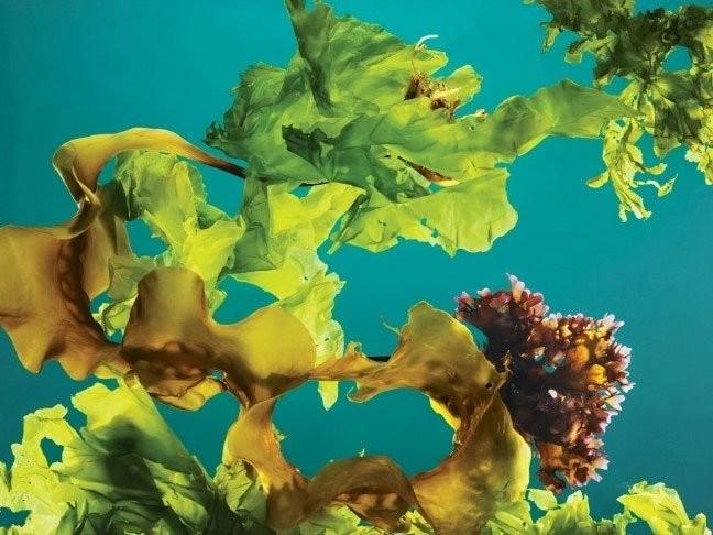 Trồng rong biển thành rừng dưới đại dương có thể chống biến đổi khí hậu