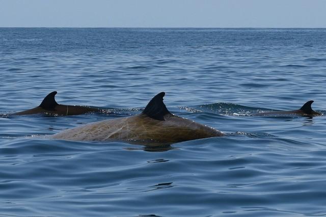 Mới đây, một con cá voi mũi khoằm đã lặn liên tục gần 4 giờ đồng hồ dưới biển, tức là lâu gấp gần 7 lần những gì các nhà khoa học cho rằng đặc điểm cơ thể và trao đổi chất của chúng có thể cho phép.