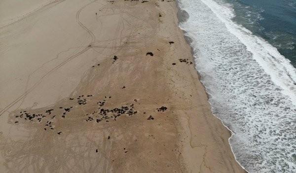 Xác hải cẩu trôi dạt lên bờ ở Namibia. Ảnh: Reuters.
