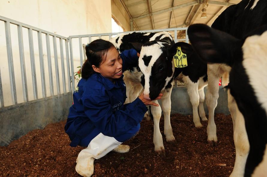 """Các nhân viên trang trại chăm sóc đàn bò từ quan điểm """"lấy bò làm trung tâm""""."""