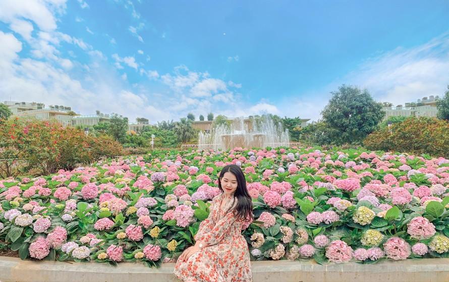 Vườn hoa cẩm tú cầu lãng mạn tại FLC Sầm Sơn đầu tháng 4 sẽ trở lại rực rỡ tại Hạ Long (Ảnh: Thu Hiền)