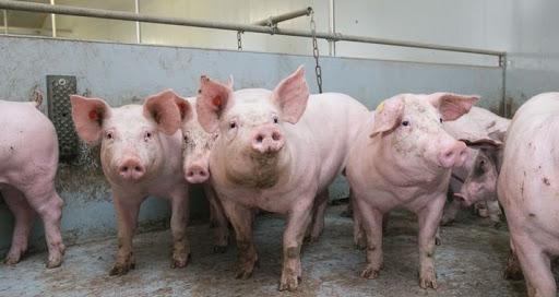 Philippines: Ban bố tình trạng thảm họa do dịch tả lợn châu Phi