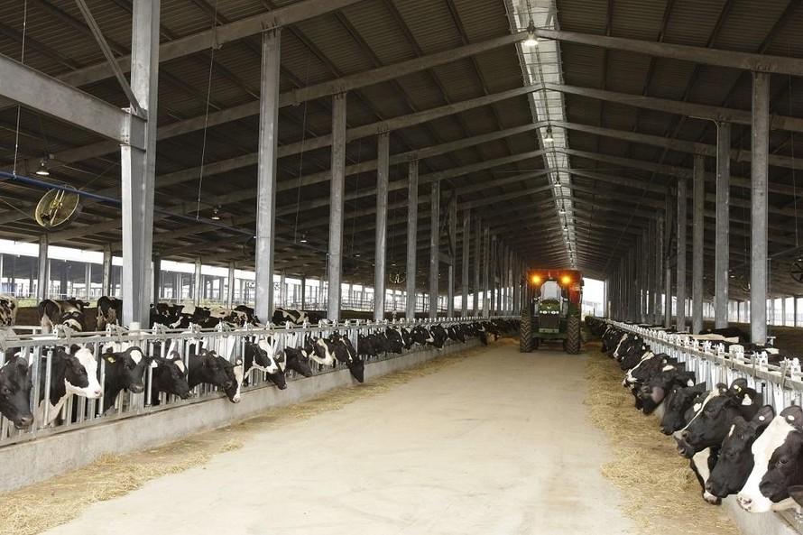 Trang trại bò sữa TH tại Nghĩa Đàn, Nghệ An.