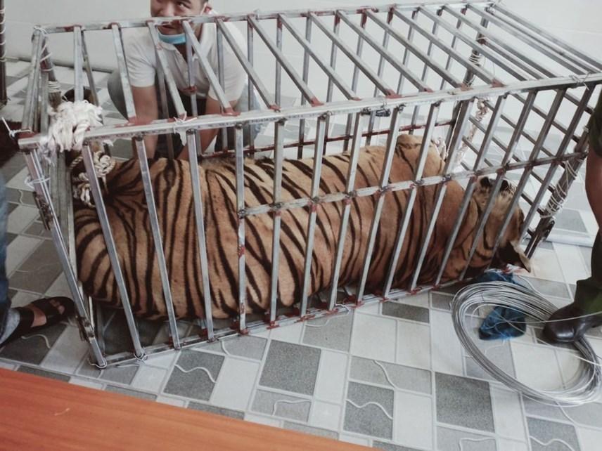 Các cá thể hổ được giải cứu tại Nghệ An