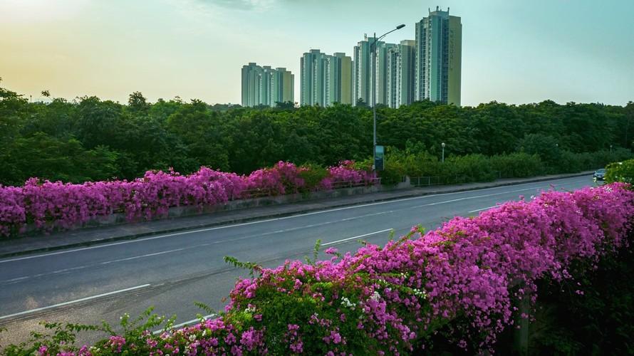 'Phát sốt' với con đường hoa giấy đẹp quên lối về ở Ecopark