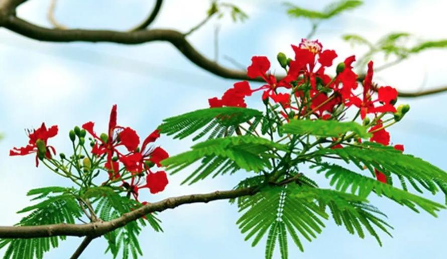 Bài thơ Chiếc lá đầu tiên của Hoàng Nhuận Cầm rất được yêu mến.