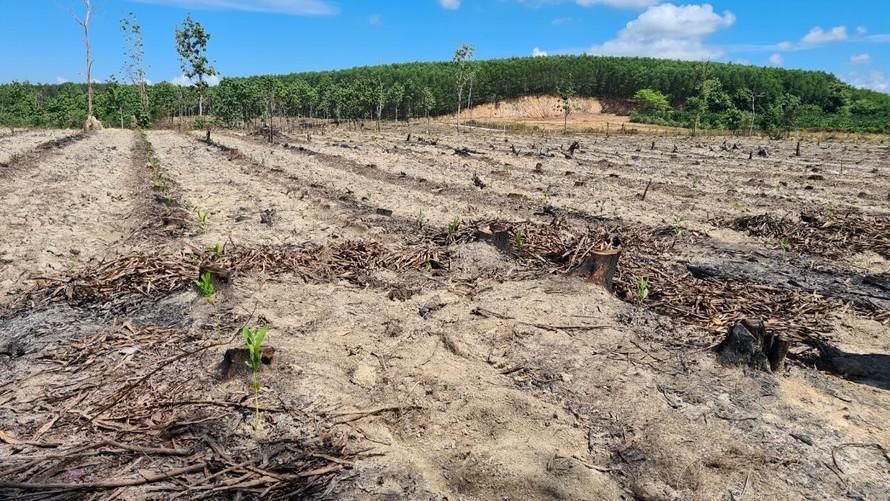 Hơn 5ha tiểu khu 41 trồng tếch bị chặt.