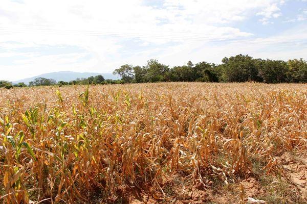 Hơn 100ha ngô của nông dân xã Phước Hòa, Bác Ái (Ninh Thuận) bị chết khô.