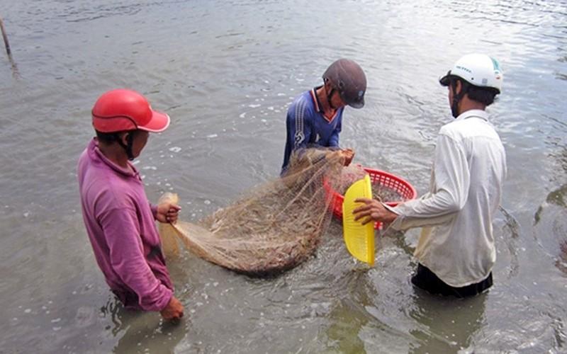 Thu hoạch tôm thẻ trên nền đất mô hình tôm - lúa cho hiệu quả kinh tế cao tại ấp An Hòa, xã Gia Hòa 2, huyện Mỹ Xuyên (Sóc Trăng).