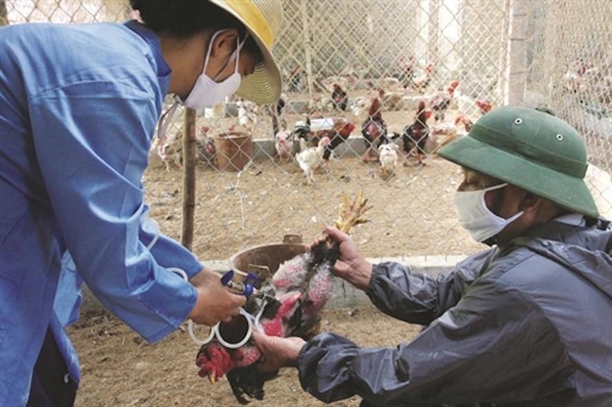 Cần cảnh giác và tiếp tục thực hiện các biện pháp bảo vệ để phòng chống bệnh cúm gia cầm. (Ảnh minh hoạ)