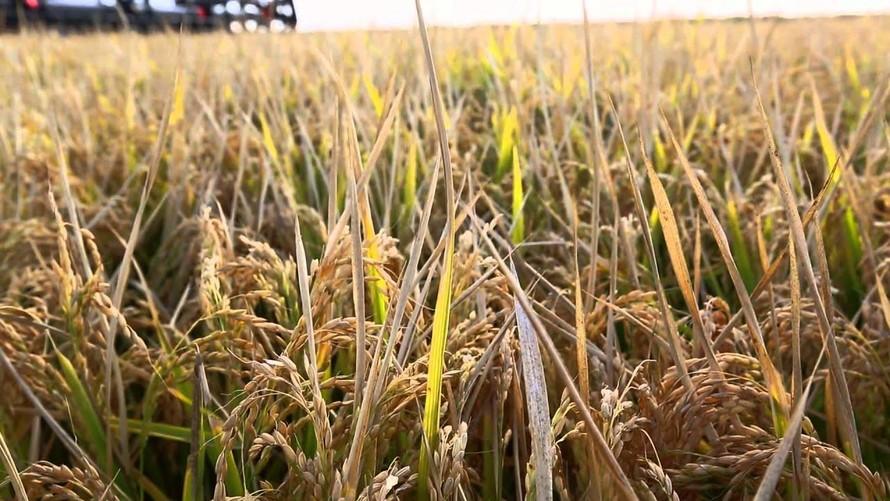 (Ảnh: Hiệp hội nông dân trồng lúa Australia)