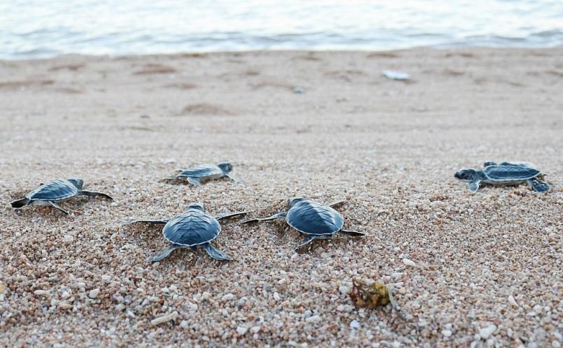 Trong khoảng thời gian rùa lên bãi đẻ trứng, các nhân viên của Vườn Quốc gia Núi Chúa thường xuyên tuần tra, theo dõi, ghi nhận thông tin, di dời các tổ trứng có nguy cơ ngập nước do thủy triều, bảo vệ trứng và rùa con khỏi con người săn trộm và các loài khác, thực hiện công tác cứu hộ và thả rùa con về biển. Ảnh: Nguyễn Thành